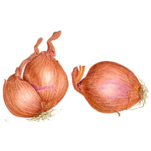 Shallot Nutrition Guide and Health Properties