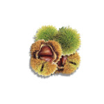 Edible Chinese Chestnut