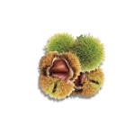 Sweet Chestnut Health Benefits