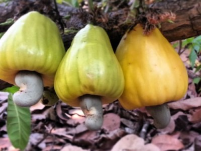 Australian Cashewnut And Its Nutritional Properties