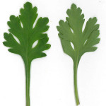 Chrysanthemum Leaves