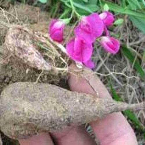 Earthnut Pea -Root Vegetable Properties