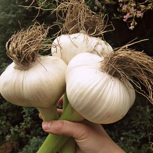 Elephant Garlic Aspects And its Uses