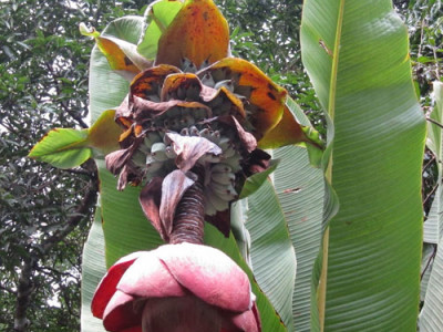 Ensete Aspects And Its Health Benefits