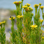 Golden Samphire