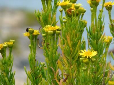 Golden Samphire Aspects | List Of Vegetable