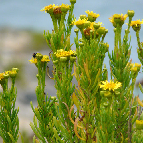 Golden Samphire Aspects | List Of Vegetable