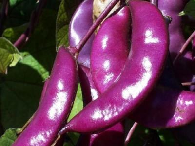 Hyacinth Bean Aspects And Its Medicinal Uses