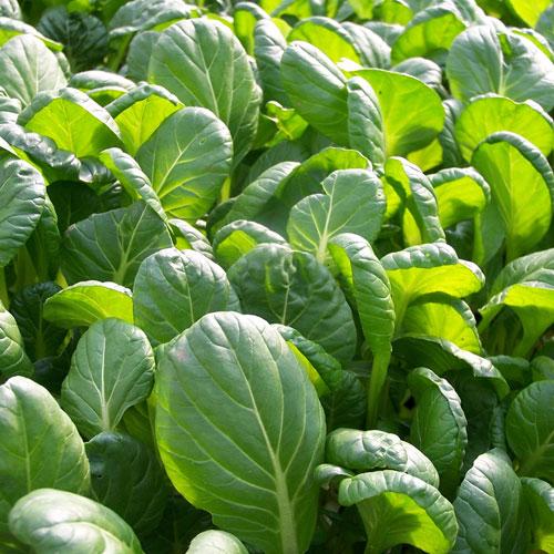 Japanese Mustard Spinach Health Benefits