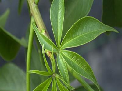 Kuka Leafy Vegetable Various Uses