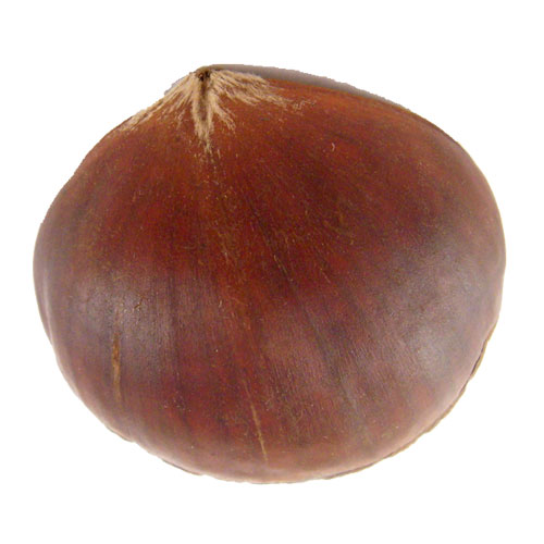 Malabar Chestnut Money Vending Tree