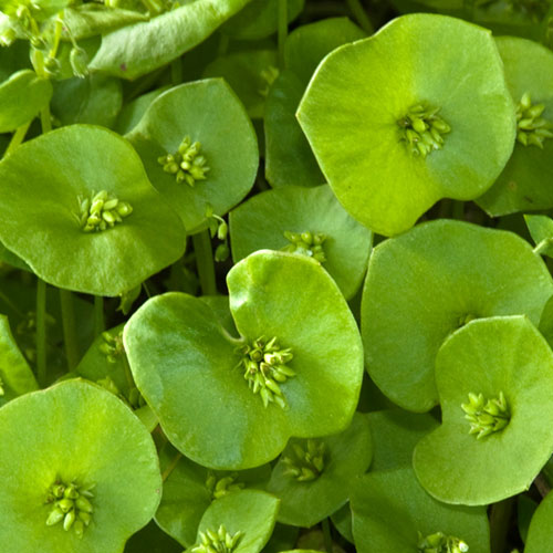 Miner's Lettuce Health Benefits