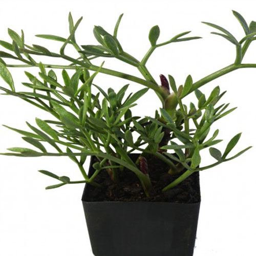 Rock Samphire Aspects And Its Uses