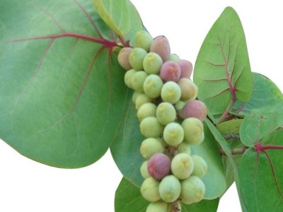 Sea Grape Origin Properties And its Health Benefits