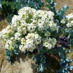 Cultivation of Sea Kale
