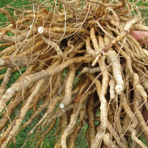 Skirret Various Uses | List Of Vegetables