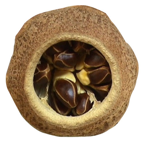 Paradise Nut Facts And Its Origin