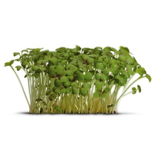 Cress Garden Cress Medicinal Values Veggies Info