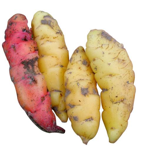 Ahipa  Aspects And Its Nutritional Value