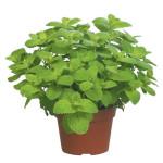 Apple Mint Leaf