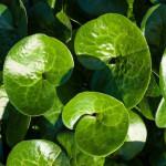 Asarabacca Vegetable