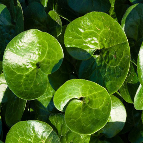 Asarabacca Benefits And Its Various Uses