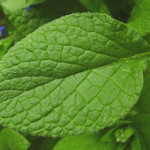 Borage Greens Medicinal Uses
