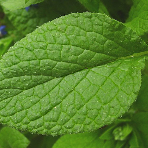 Borage Greens for Culinary And Medicinal Purposes