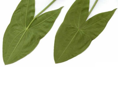 Broadleaf Arrowhead And Its Health Benefits