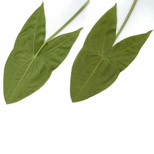 Broadleaf Arrowhead And Its Health Benefits