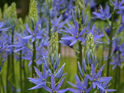 Camas Various Uses And Its Health Benefits