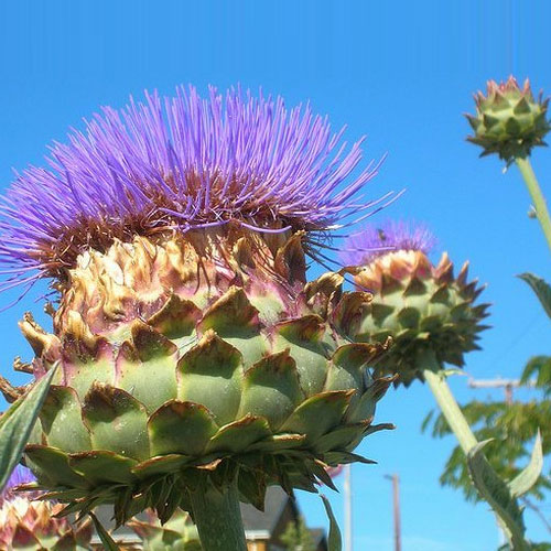 Cardoon Consumption And Its Nutritional Value