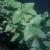 catnip-leaves