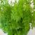 chervil-plant