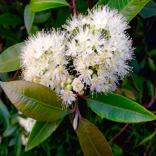 Cinnamon Myrtle And Its Medicinal Value