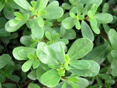 Common Purslane Cultivation,Uses And Its Impacts