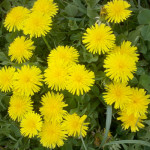 Various Uses Of Dandelion
