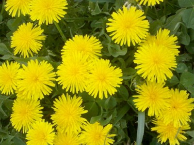 Dandelion Unknown Health Benefits