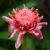 ginger-flower-benefits