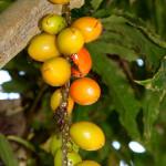 Red Bopple Nut