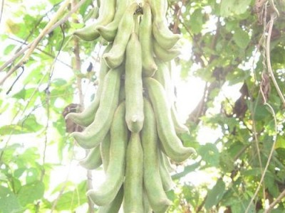Velvet Bean Medicinal Uses And Its Side Effects