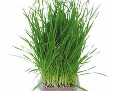 Wheat Grass And Its Interesting Facts