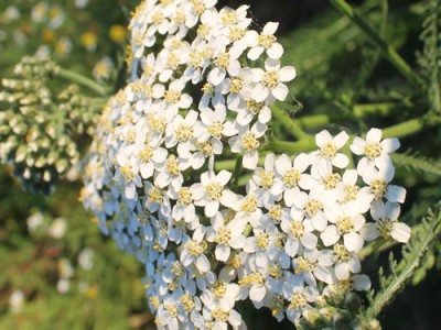 Yarrow Flower Unknown Medicinal Uses