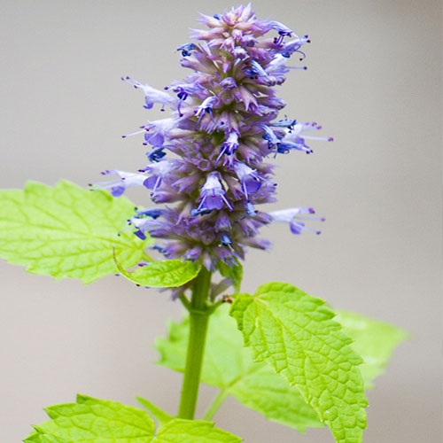 Aspects Of Hyssop And Its Properties