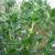 summer-savory-leaves