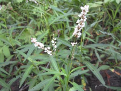 Water pepper Benefits Medicinal uses and its Properties