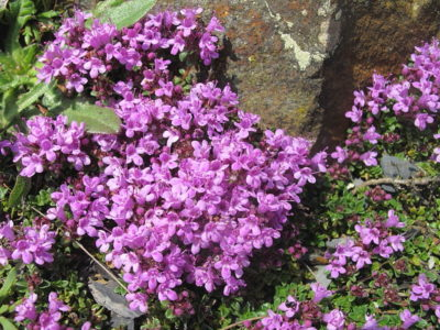 Facts of  Wild Thyme