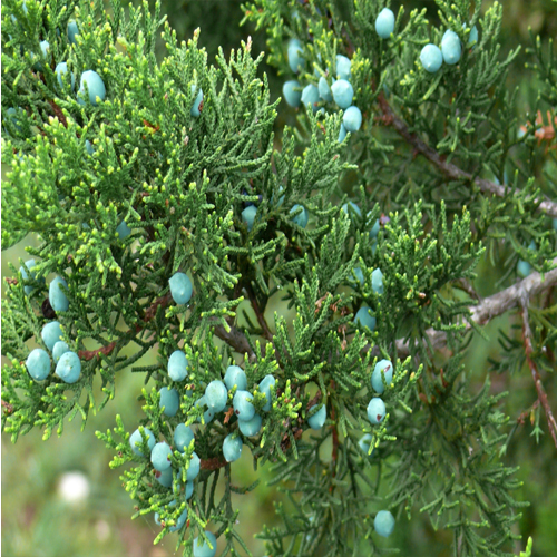 Juniper berry medicinal values and benefits