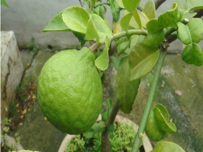 Kaffir Lime Health Properties
