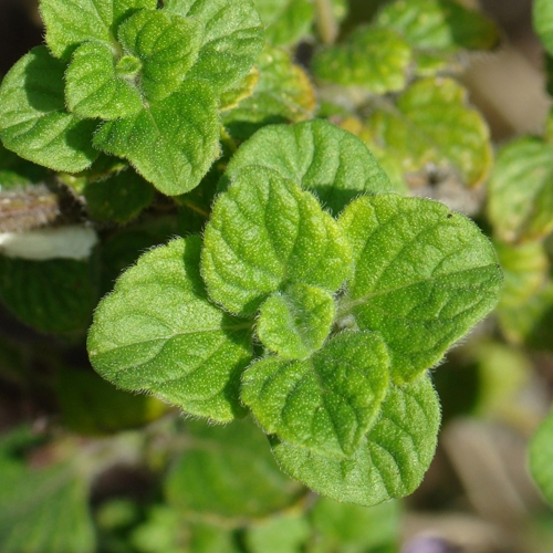 Lesser Calamint Facts And nutrition summary